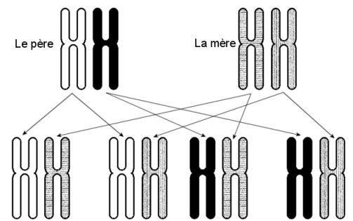 4 combinaisons de chromosomes n°6 sont possibles